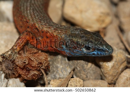 A colorful male of the Blue-throated keeled lizard in mating colors