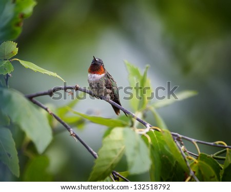 A colorful male Ruby-throated Hummingbird perched on a tree limb. - stock photo