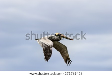 A colorful Pacific coast pelican is flying surrounded by a blue sky. - stock photo