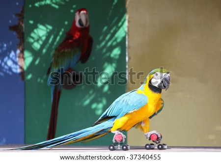 a colorful parrot performing on skates across a stage infront of an audience - stock photo