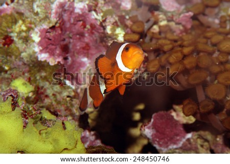 A Colorful Percula Clownfish (Amphiprion Percula) Swimming Through Anemones, Sea Plants, and Corals in an Aquarium. - stock photo