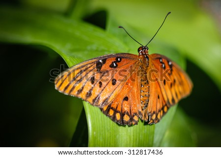 A colorful Queen Danaus Gilippus butterfly. - stock photo