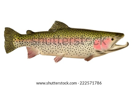 A colorful Rainbow Trout (Oncorhynchus mykiss) isolated on a white background. - stock photo