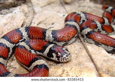 A colorful Red Milk Snake, Lampropeltis triangulum syspila - stock photo