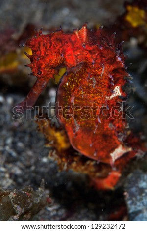 A colorful seahorse blends into its surroundings in Lembeh Strait, Indonesia.  Seahorses depend on their camouflage to avoid reef predators. - stock photo