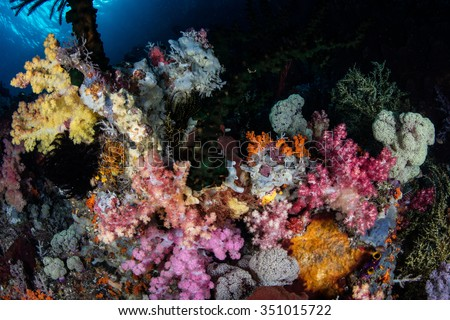 A colorful set of soft corals grows in Raja Ampat, Indonesia. This remote, tropical region is known for its incredible array of marine biodiversity and exceptional diving and snorkeling opportunities.