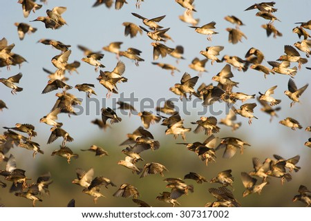A colour photograph with a shallow depth of field of a flock of red-billed queleas, Quelea quelea, in flight in Mashatu Game Reserve, Northern Tuli, Botswana. - stock photo