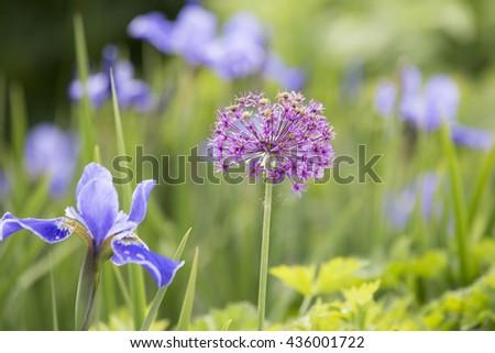 A colourful Allium in a flower garden - stock photo