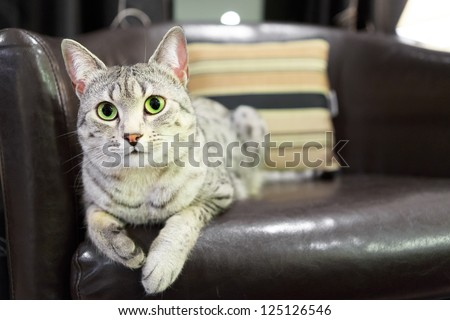A comfortable Egyptian Mau cat relaxes on a leather chair.  Shallow depth of field is focused on the eyes - stock photo