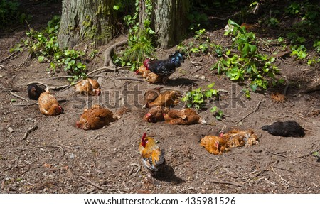 a comfortable living group of chicken in a forest on the azores