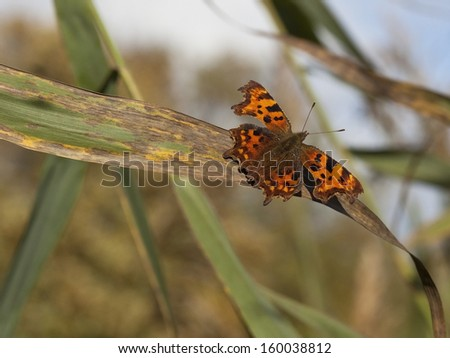a comma butterfly latin name polygonia c album resting on an autumn reed leaf - stock photo