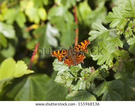 a comma butterfly latin name polygonia c-album resting on hawthorn leaves in late summer - stock photo