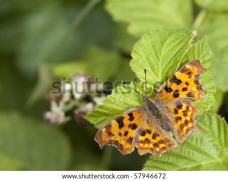a comma butterfly polygonia c- album on green leaves in summer - stock photo