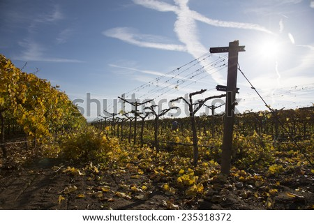 A commercial farming operation in a Central California vineyard has begun cutting back foliage from vines after the grape harvest. - stock photo