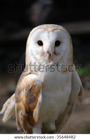 A Common Barn Owl in England.
