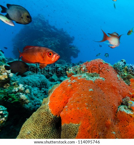 A common Bigeye reef fish near a green and red hard coral - stock photo