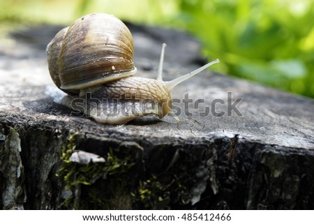 A common garden snail climbing on a stump