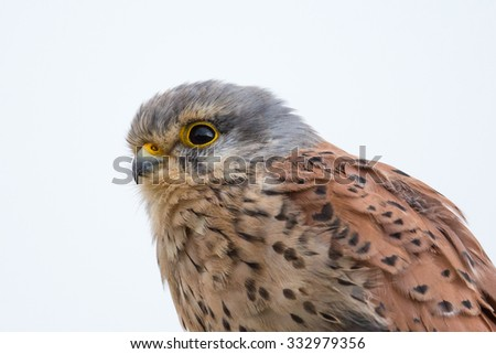 A Common Kestrel also known as European Kestrel (Falco tinnunculus) close up of head and shoulders