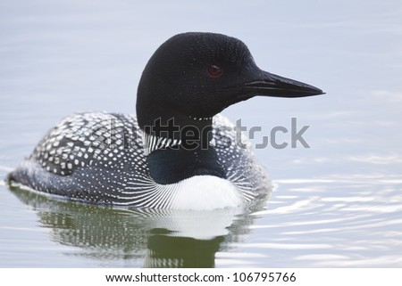 A Common Loon swims before the camera in quiet beauty.