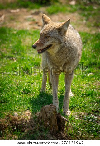 A common North American Coyote ( Canis Latrans ) standing on grass.