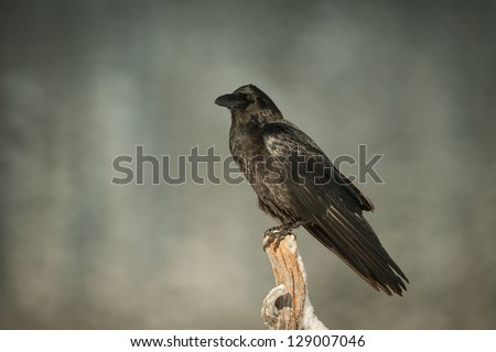 A Common Raven perched on a snow covered branch of a dead pine tree. - stock photo