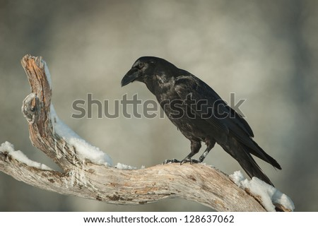 A Common Raven perched on a snow covered branch of a dead pine tree. The Raven is observing a feeding eagle on the ground below, waiting for an opportunity to swoop down and steal some food. - stock photo