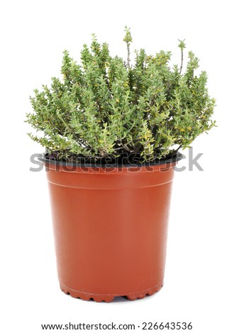 a common thyme plant in a flowerpot on a white background - stock photo