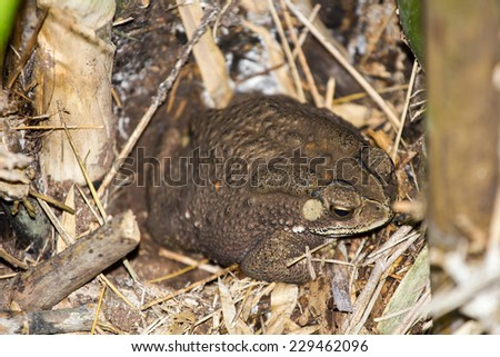 A common toad sitting close up