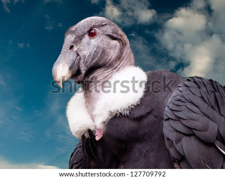 A condor looks down with a blue sky in the background. - stock photo