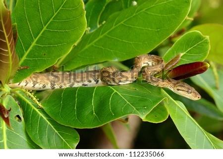 A constrictor, the arboreal Tree Boa snake, Corallus hortulanus, waits for prey - stock photo