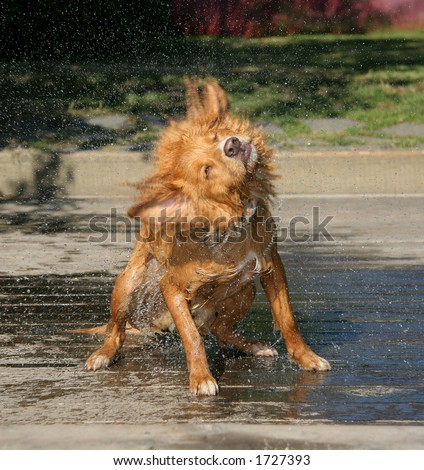 A cool dip followed by a quick shake soakes everyone in the vicinity. - stock photo