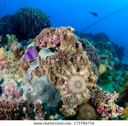 A coral-eating Crown of Thorns Seastar feeds on living coral on a tropical reef - stock photo