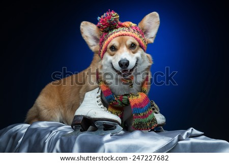 A corgi dog in a knitted hat and scarf with skates - stock photo