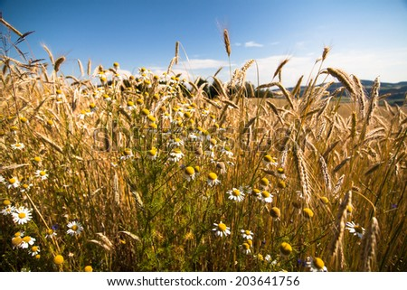 a corn field close to castle Weinberg, Upperaustria - stock photo