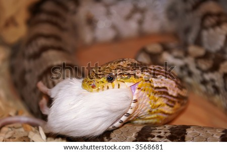 A Corn Snake Eating A Mouse. - stock photo