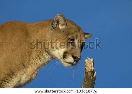 A Cougar Sits in a Tree to Get a Better Look - stock photo