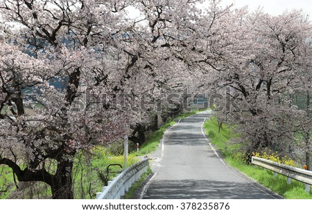 A country road under the archway of beautiful sakura (cherry) blossoms in the rural area of Maniwa City, Okayama Japan ~ Romantic scenery of Japanese countryside with amazing blossoms in springtime - stock photo
