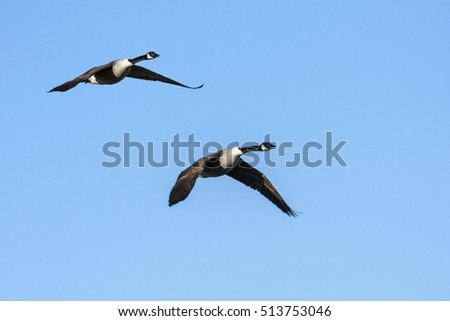 A couple, group of Canada geese in migration. Clear blue sky in April.