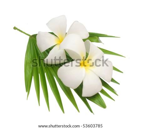 A couple of fangipani flower - stock photo