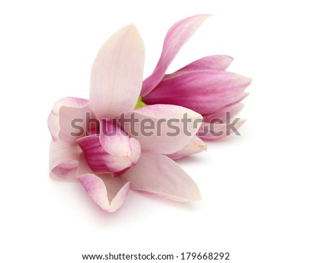 A couple of Magnolia flowers - stock photo