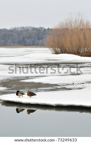 a couple of male and female mallards (Anas platyrhynchos) walking on Ice-covered lake in Madison, Wisconsin - stock photo