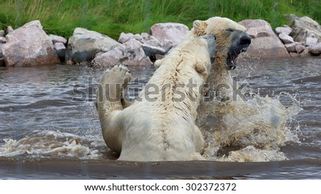 A couple of male Polar Bears sparring in water - stock photo