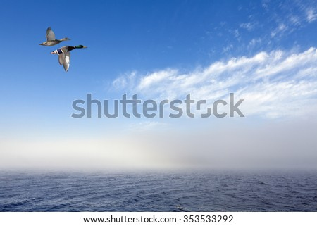 A couple of mallards in migration, Wild duck in migration. Misty, foggy weather at sea. Bright sunshine. Blue sky, a few clouds. - stock photo