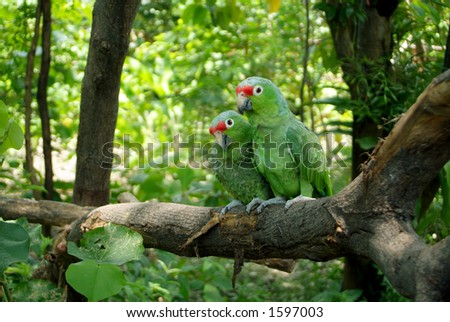 A couple of Parrots (in love) - stock photo