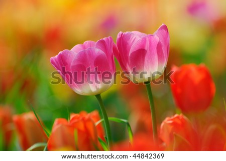 a couple of pink tulips in a field of red ones - stock photo