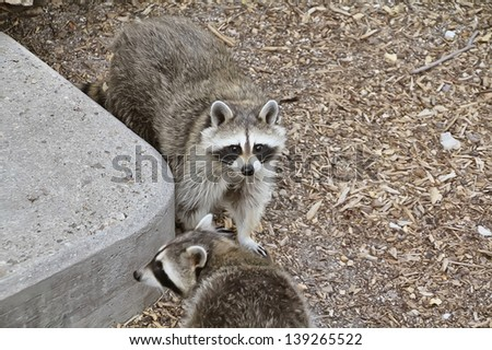 a couple of raccoons - stock photo