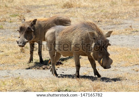 A couple of warthogs (Phacochoerus africanus) in Ngorongoro Conservation Area, Tanzania - stock photo