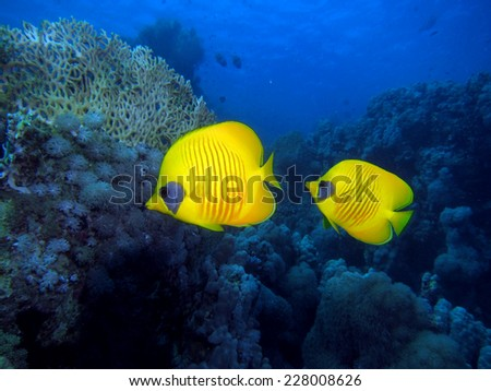 A couple of yellow masked butterflyfish (Chaetodontidae)  - stock photo