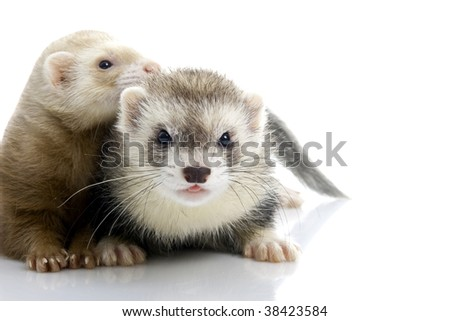 A couple of young ferrets. Isolated. - stock photo