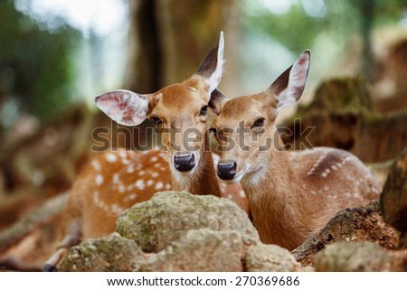 A couple of young sika deers lying together at a natural park background. - stock photo